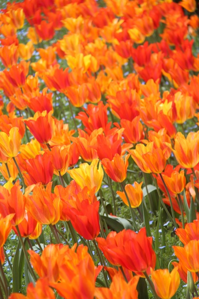 tulips_vertical