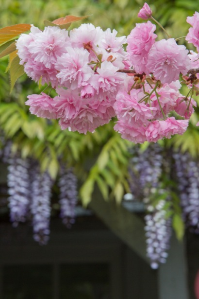 blooms with wisteria_vert