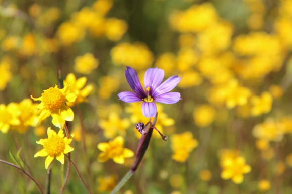 Photographer Frances Freyberg continues spring wildflower pursuit at Edgewood Park