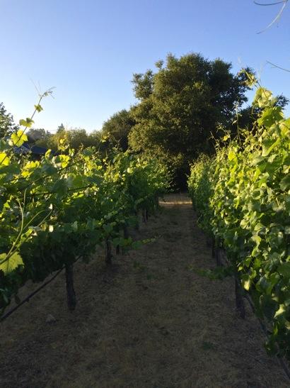 Vines at Portola Vineyards