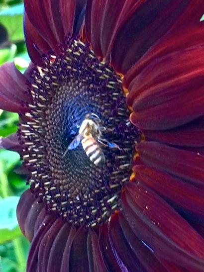 Post image for Hundreds of sunflowers bloom in Robin Tobias' Menlo Park backyard