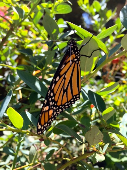 Post image for Pixie Couch welcomes Monarch butterflies to her Menlo Park backyard