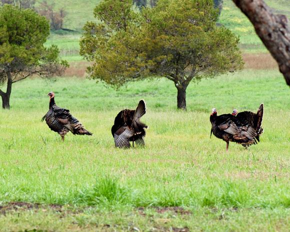 most_turkeys-at-santa-theresa-park-1