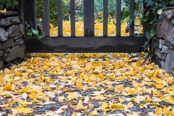 Post image for Painterly-looking, golden leaves provide a spark of holiday tranquility