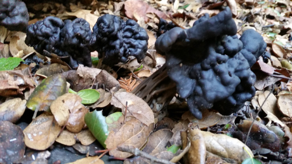 Post image for Spotted: Spooky black mushrooms in Menlo Park yard