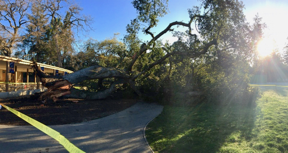 Post image for Beloved heritage oak tree falls at Laurel School