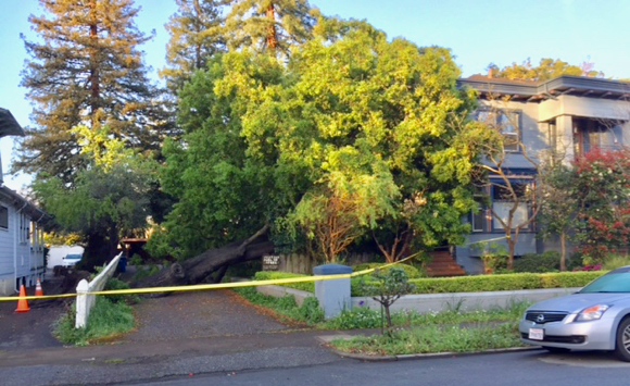 Another heritage Oak falls in Menlo Park – we get some answers why