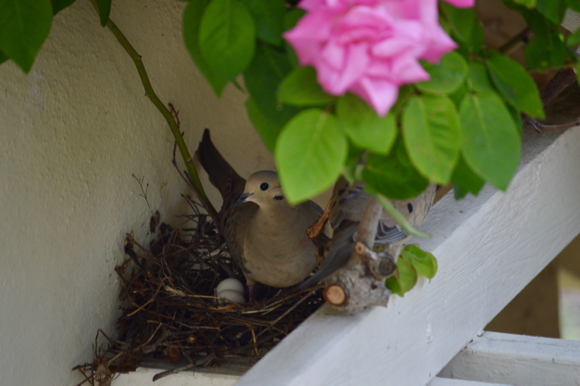 Post image for Spotted: Doves trading nest duties in Menlo Park