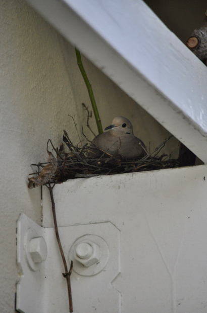 Post image for Spotted: Mother mourning dove on her nest