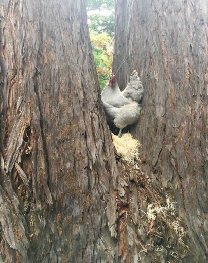 Post image for Spotted: Tree climbing chicken in Atherton