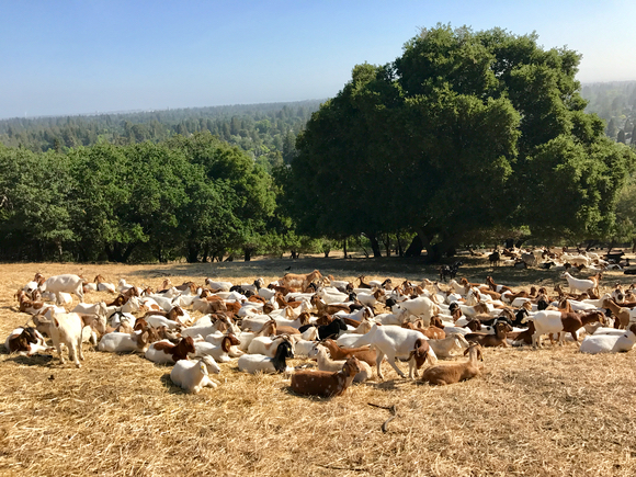 Post image for Spotted: Goats waiting patiently for more grass to munch at Sharon Hills Park