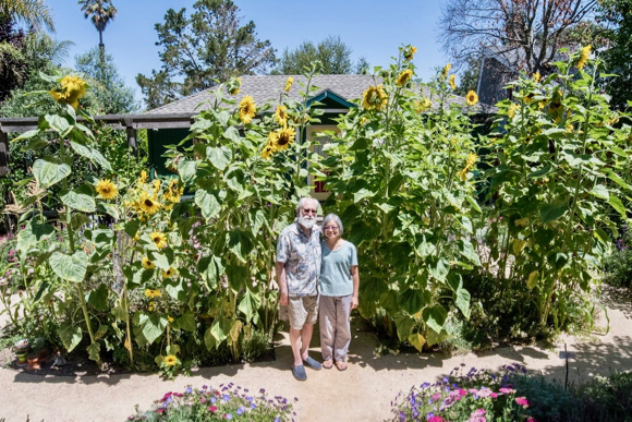 A sunflower forest grows in Menlo Park