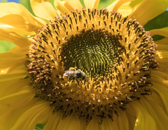 Post image for A sunflower forest grows in Menlo Park