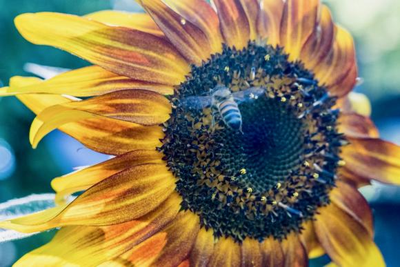 Sunflowers brighten up Robin Tobias's Menlo Park yard