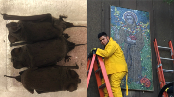 """83 """"blessed"""" bats at Menlo Park home rescued, pronounced fit, and released"""