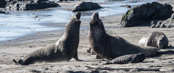 Elephant seals strutting their stuff at Piedras Blancas captured by photographer Robb Most