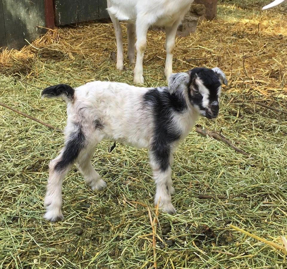 Post image for Spotted: Newborn goat at Sacred Heart barnyard