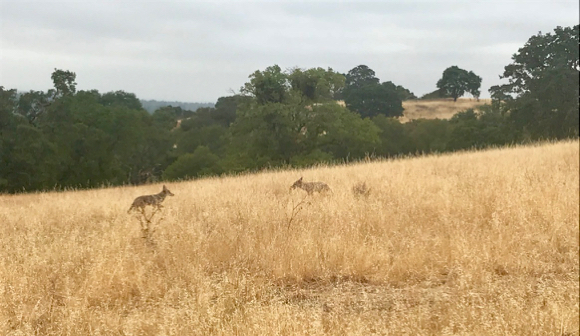 Post image for Spotted: Young coyotes and Buck deer roaming the Dish