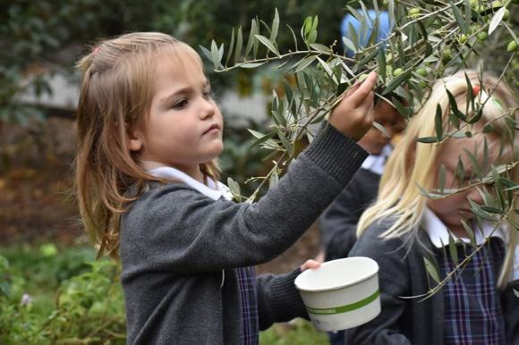 It's olive harvest time at Sacred Heart Schools