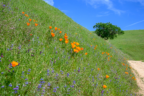 Today's Spring treat: on the trail at Russian Ridge Open Space Preserve