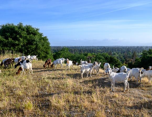 Grazing goats return to Sharon Hills Park in Menlo Park — InMenlo