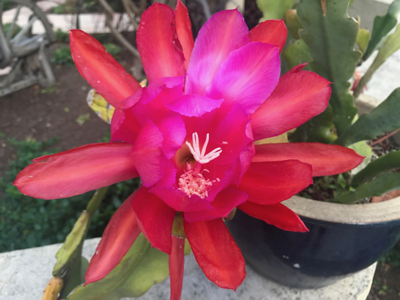 Spotted: Bright and cheery orchid cactus flower