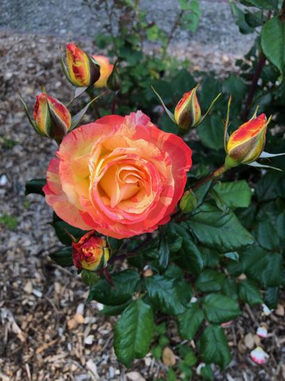 Memorial roses in observance of Memorial Day