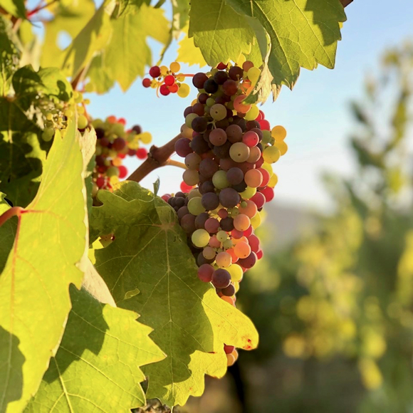 Spotted: Multi-colored grape cluster