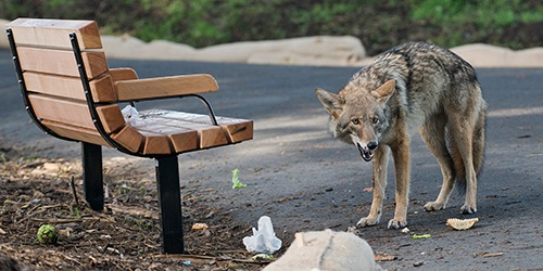 Coyotes continue to roam the streets of Menlo Park