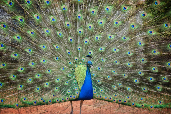Percy the Filoli peacock to be remembered with memorial service and fund