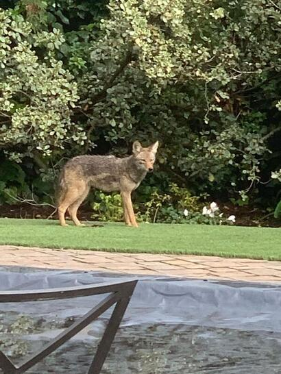 Spotted: Coyote in backyard of Oak Avenue home