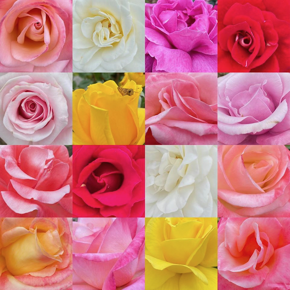 Roses and roses to brighten a Monday by photographer Betsy Sergeant Snow