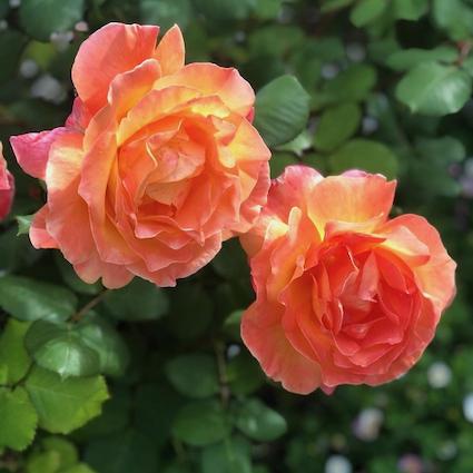 Neighborhood walking: Bright and cheery roses