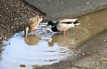 "Spotted: Pair of ducks enjoying a ""lake"" while on neighborhood walk"