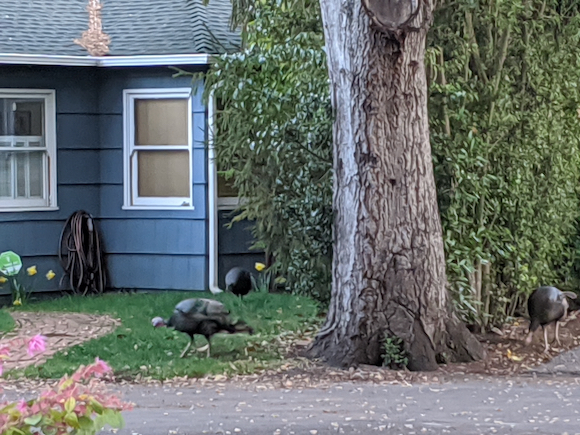 Menlo Mystery: Where did the wild turkeys near downtown come from?