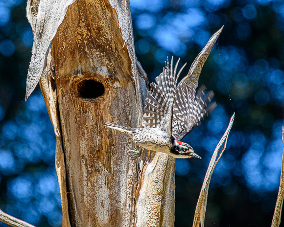 Signs of Spring: Nutthall's woodpecker nest in cactus garden on Stanford campus