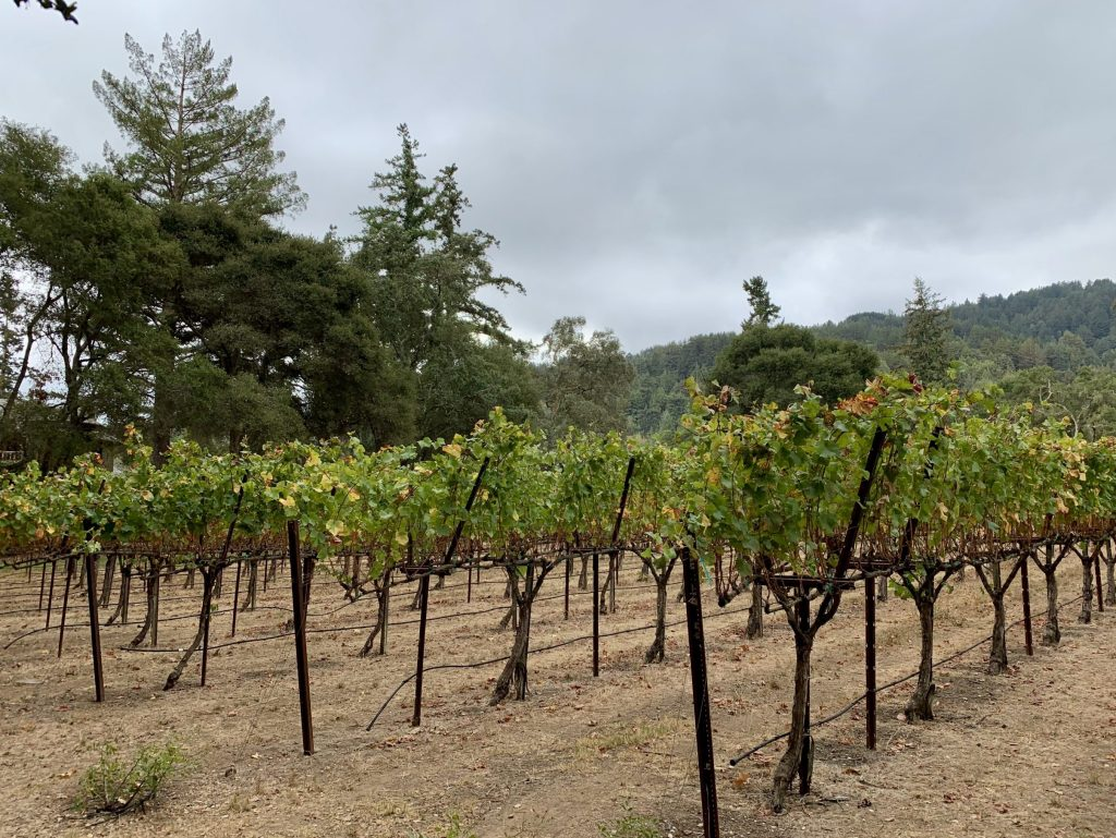 Spotted: Vines starting to change color at Kings Mountain Vineyard