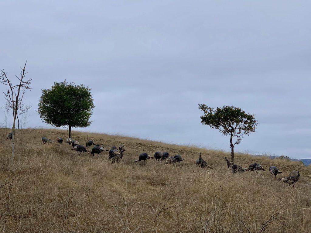 Spotted: Dozens of carefree turkeys