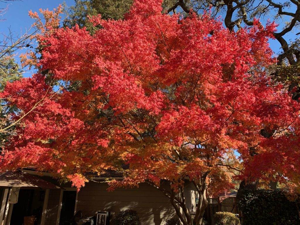 Spotted: Blaze of fall color on the day before Thanksgiving