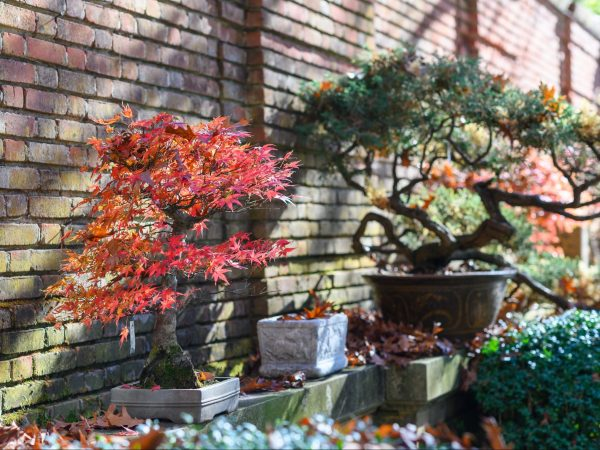 Filoli exhibiting its bonsai collection for the first time