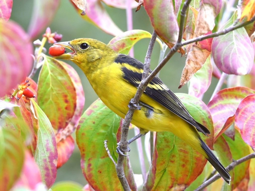Join the Great Backyard Bird Count from February 12 to 15