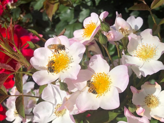 Beekeeper Elizabeth Newell is Peninsula Rose Society guest on February 16
