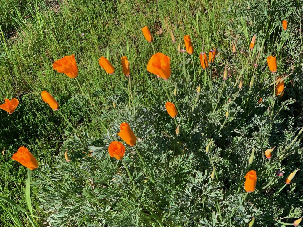 Spotted: Poppies proclaim spring is coming