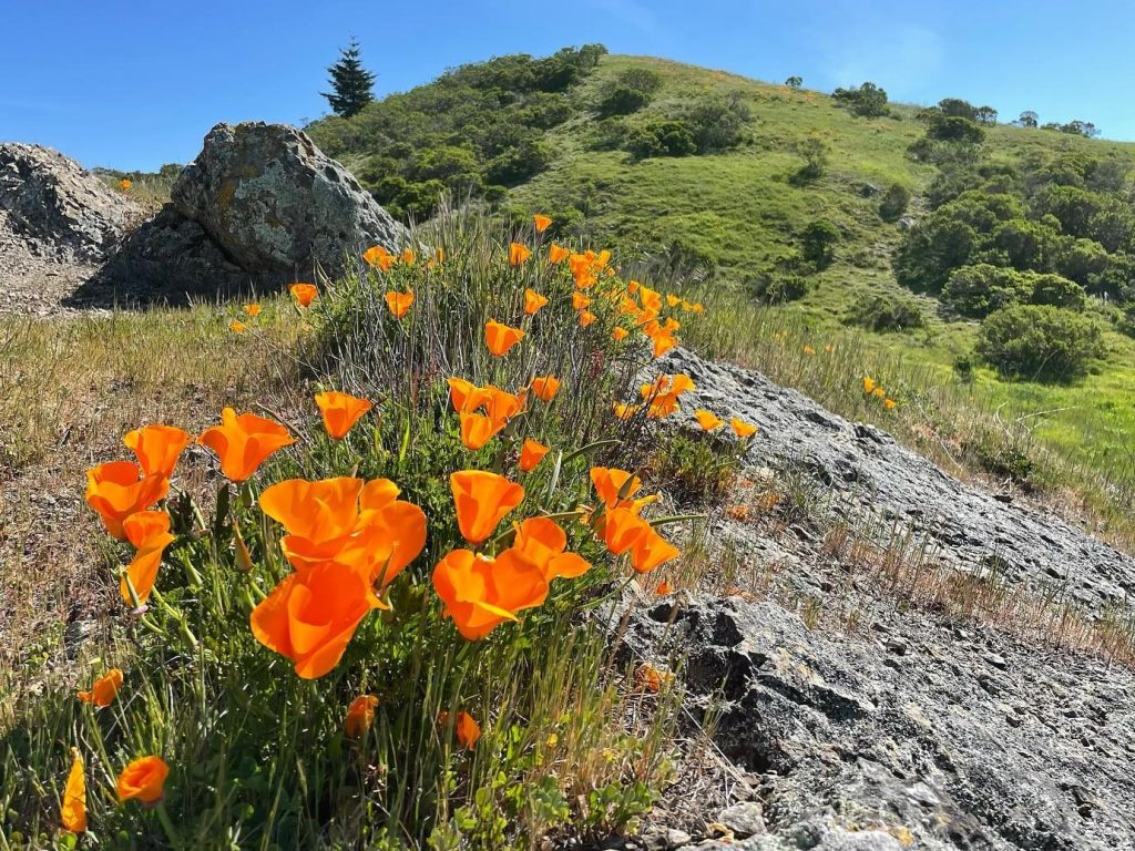 Spotted: Poppies hiking up Windy Hill
