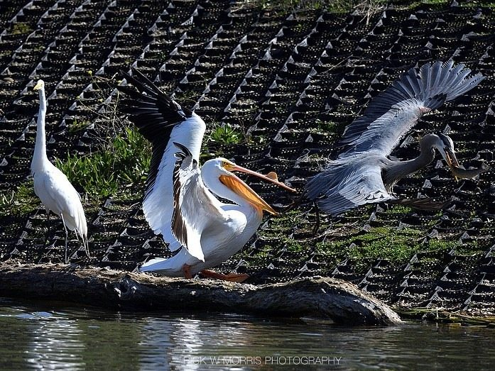 Spotted: Birds fishing at Sandy Wool Lake