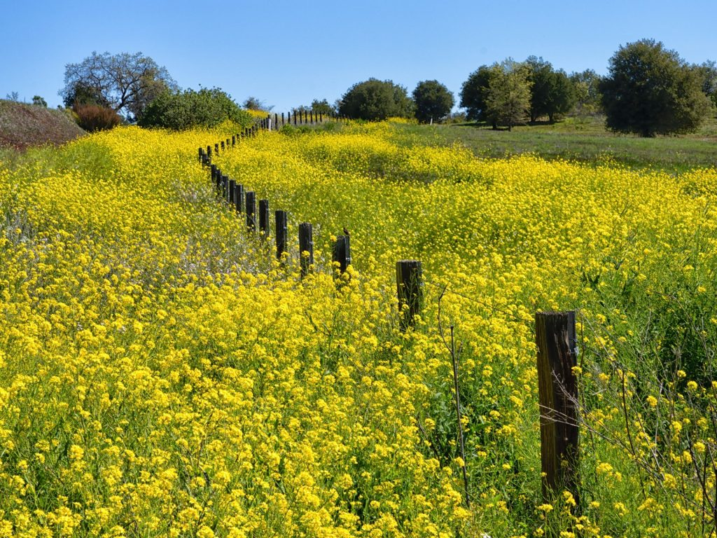 Spotted: Spring mustard for as far as the eye can see