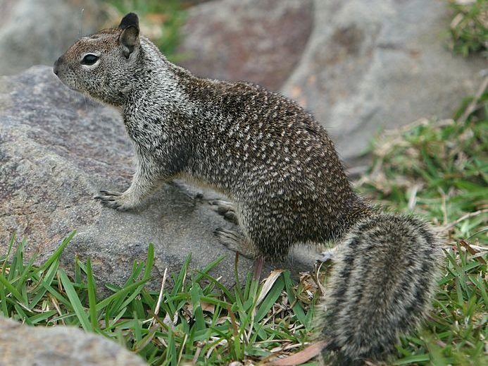 County of San Mateo to pause ground squirrel management at Flood Park