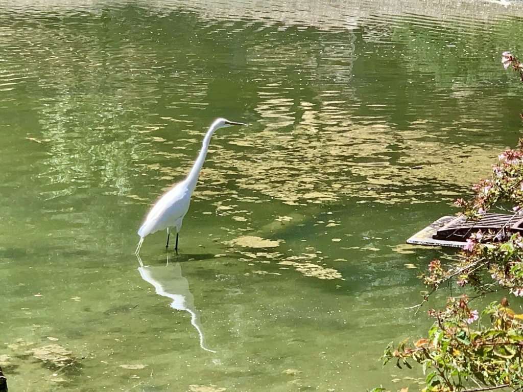 Spotted: Snowy egret in pond at Sharon Park