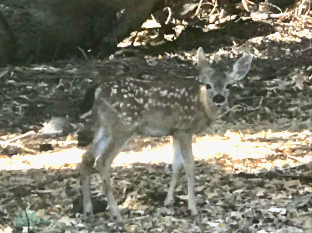 Spotted: Bambi on the Stanford Golf Course