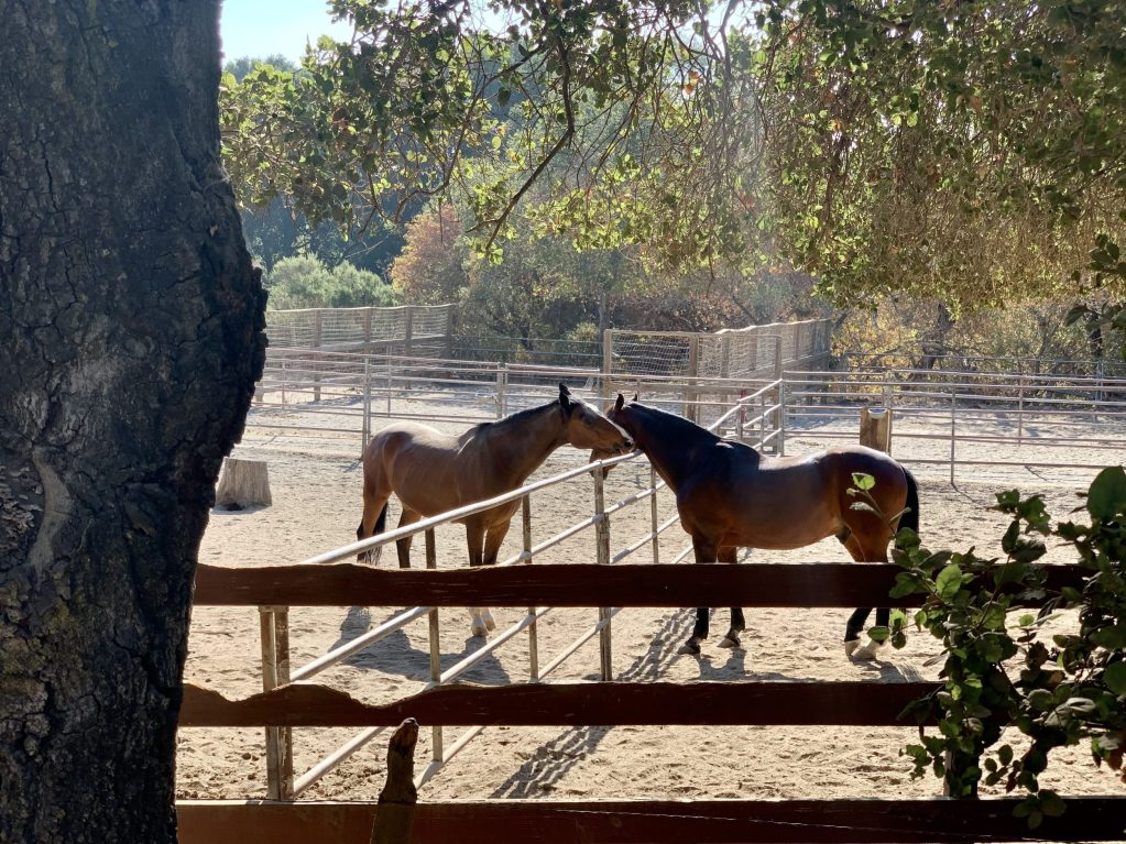 Spotted: Horse buddies giving each other a nuzzle